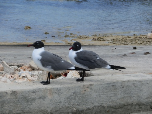 Noisy Black headed gulls deck the docks