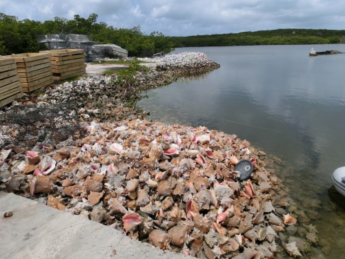 Conch shells make a great contribution to any  new construction.