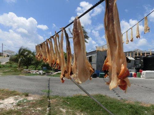 Did you get it right?  This is Conch meat hanging out to dry.  Once the flesh is dehydrated it can last for ten years.